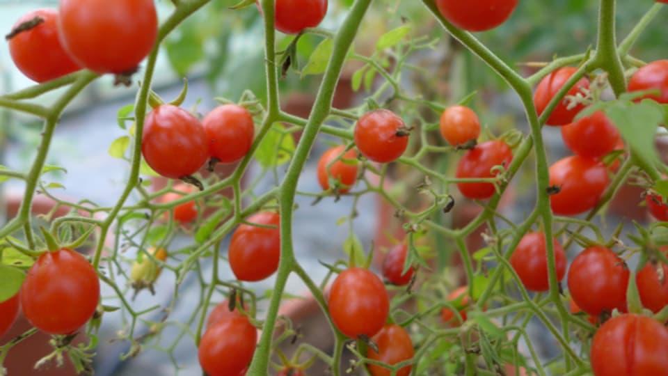 Die Tomatensorte «Rote Murmel» ist eine geeignete Freilandsorte.