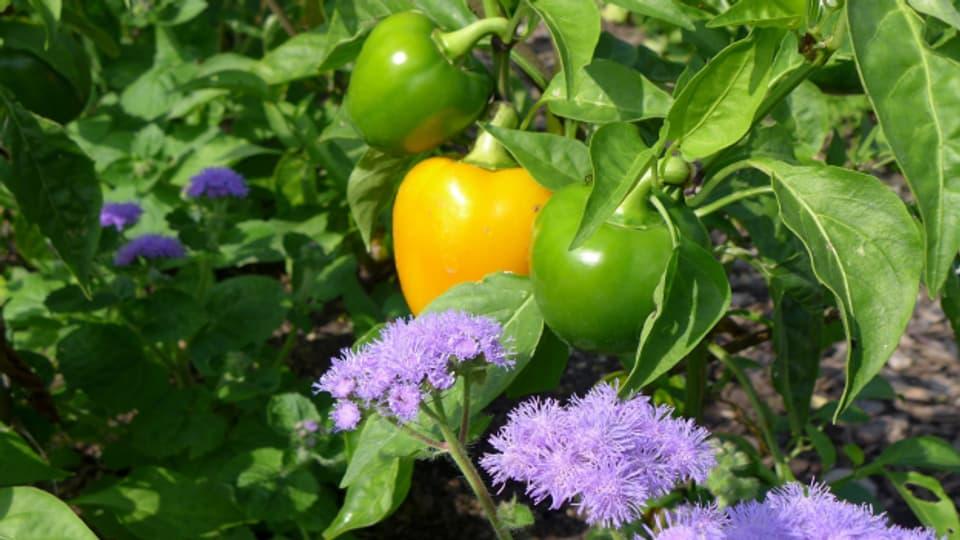 Passt: die gelbe Peperoni zur lilablauem Leberbalsam