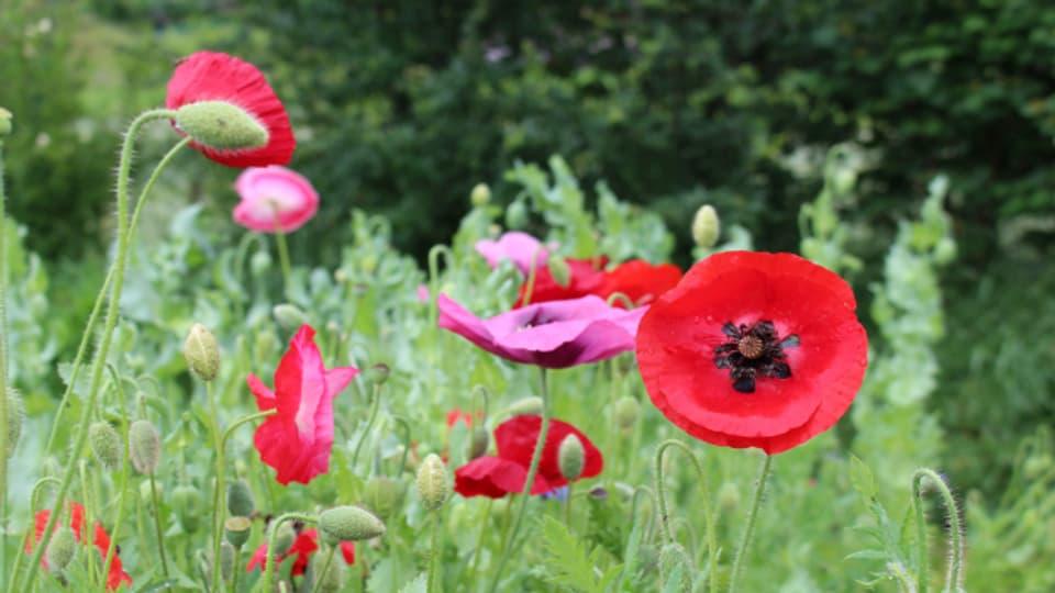 Rot blüht der Mohn und garantiert für ein farbiges Naturspektakel.