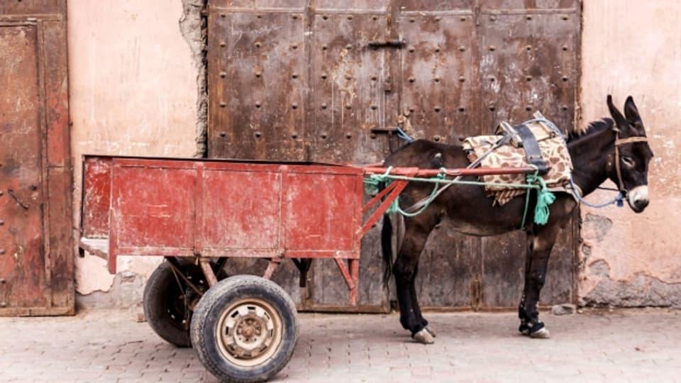 Der Esel erweist dem Menschen seit 6000 Jahren unschätzbare Dienste.
