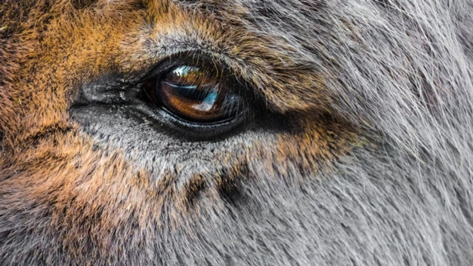 Der Esel: geringgeschätzt, vernachlässigt, gequält und verkannt wird wie kein anderes Nutztier.