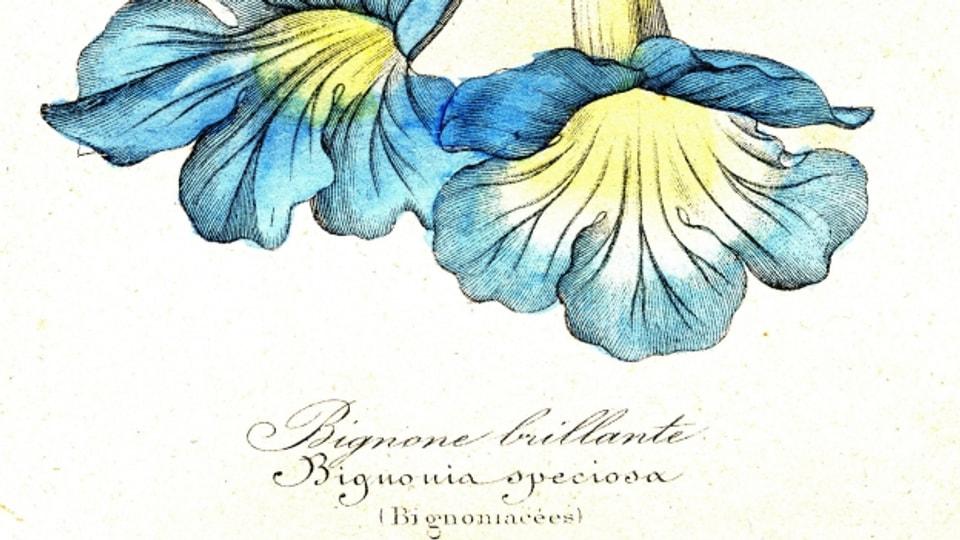 Bignonia Speciosa aus der Familie der Trompetenbaumgewächse