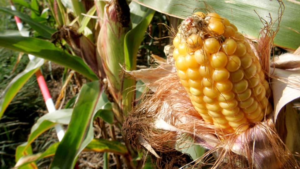 Gentech-Mais für Afrika: Die Lösung gegen den Hunger?