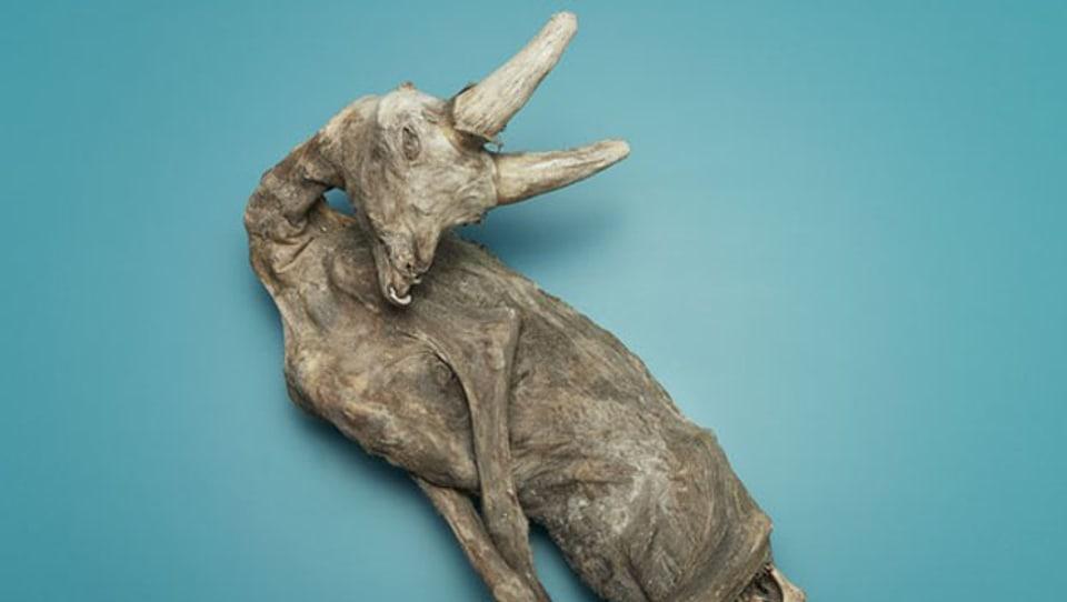 Mumie erzählen immer eine Geschichte. Auch diese mumifizierte Katze. (Bild: Naturhistorisches Museum Basel)