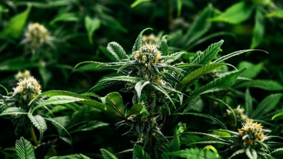 Cannabis – Rauschmittel oder Medikament?