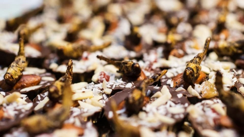 Schokoladen Pralines garniert mit jungen Feldheuschrecken.