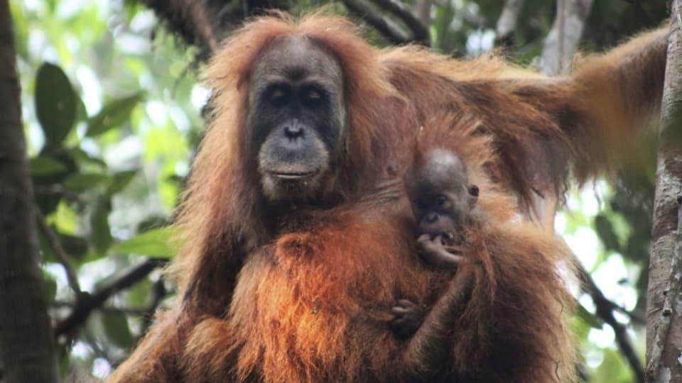 Eine neu entdeckte Orang Utan Art: Der Tapanuli Orang Utan