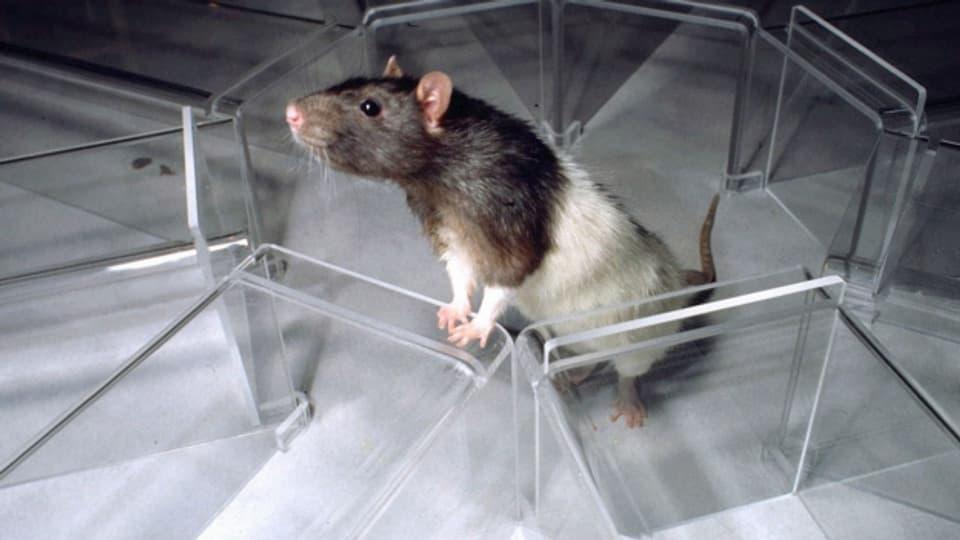 Töten per Mausklick: Eine Ratte konnte man von jedem Computer aus töten.
