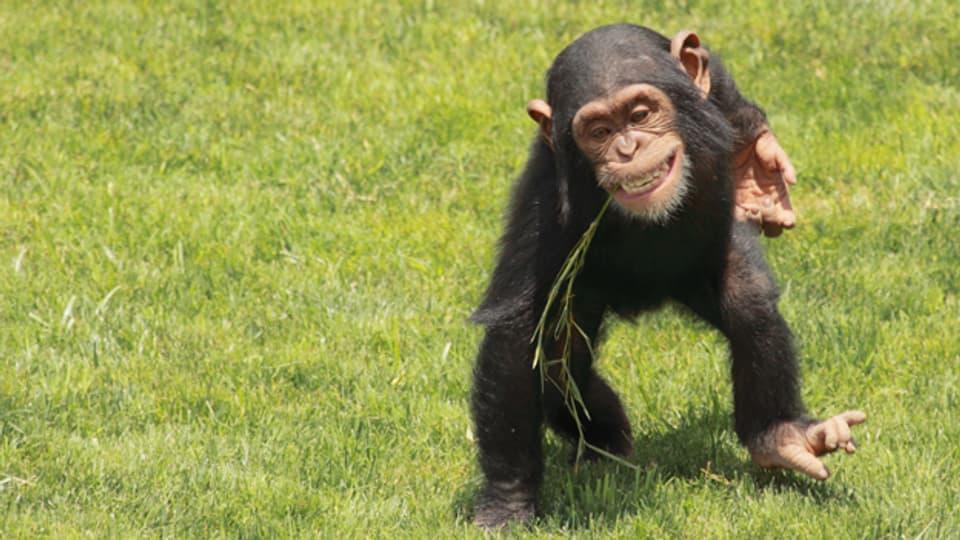 Schimpansen kämpfen gerne um mehr Land