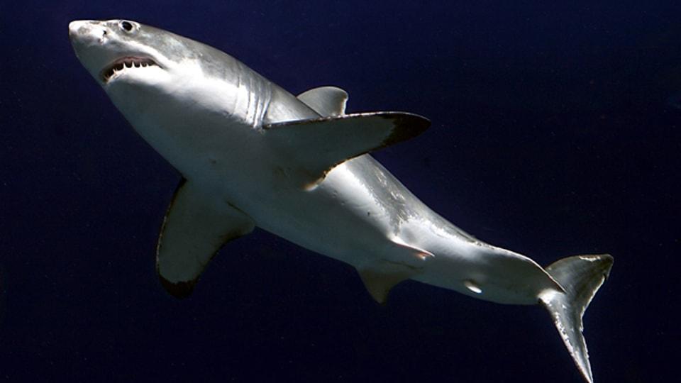 Gibt es den weissen Hai im Mittelmeer?
