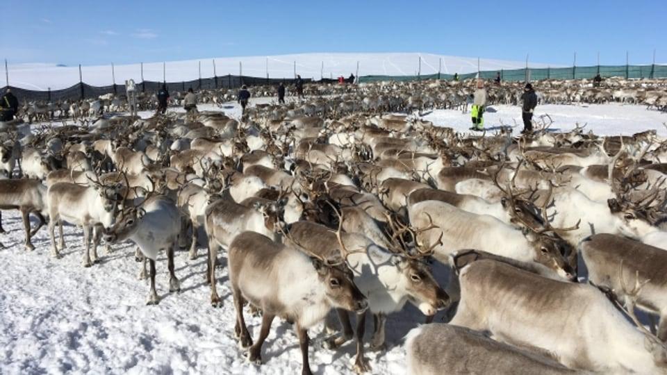 Rentiere im hohen Norden Norwegens: Viele von ihnen werden zwangsgeschlachtet, weil es für sie immer weniger Platz gibt.