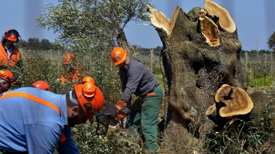 Eine kahle Landschaft. Das Olivenbaumsterben im Salento.