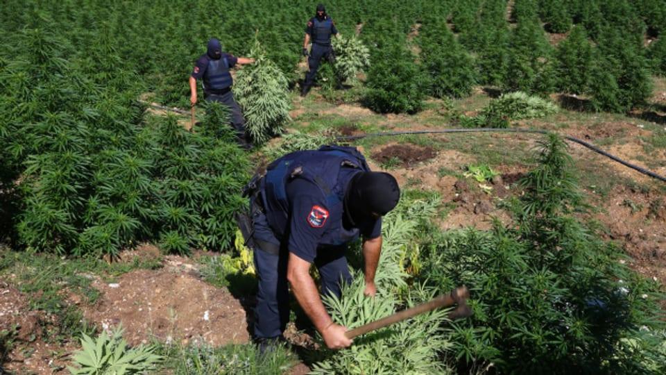 Polizisten zerstören eine illegale Cannabis-Pflanzung südlich der Hauptstadt Tirana.