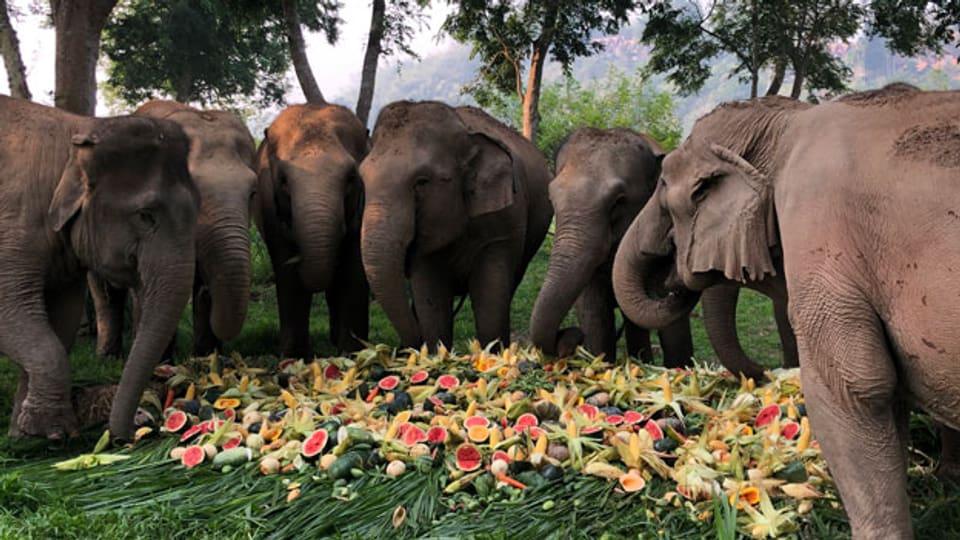Der Elefanten-Tourismus hat in Thailand in den letzten Jahren geboomt. Das Wohl der Tiere blieb dabei oft auf der Strecke, es ging einzig und allein ums Geld.