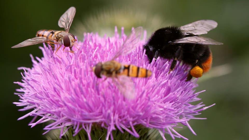 Grosse und kleine Insekten erfreuen sich an einer Distelblüte voller Blütenstaub.