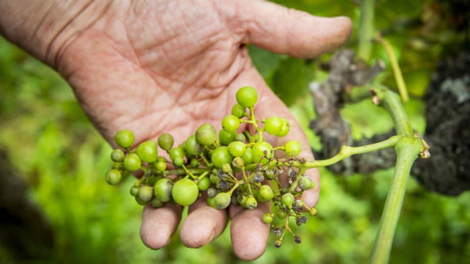 Der nasse Sommer führte dieses Jahr bei vielen Trauben zu Pilzbefall.