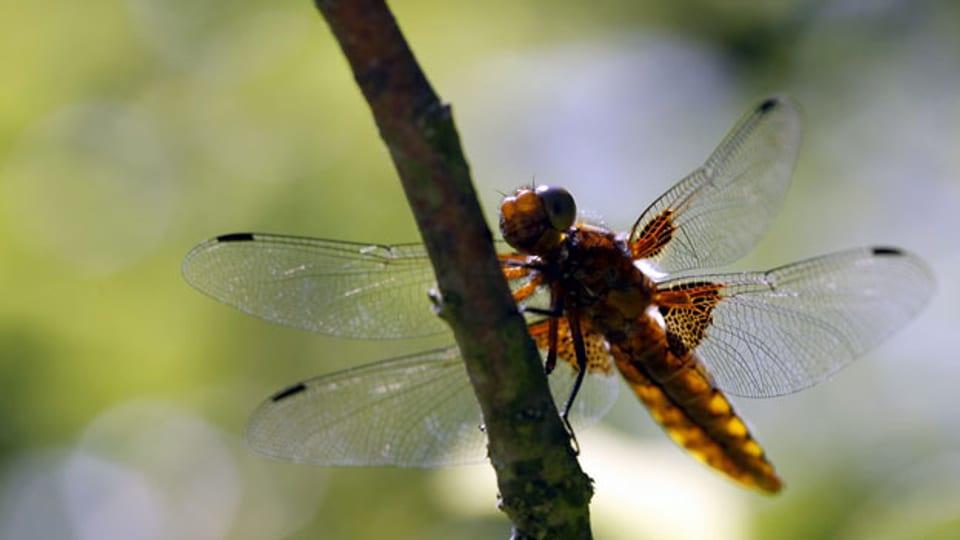 Libellen können vergleichsweise gut auf den Klimawandel reagieren.