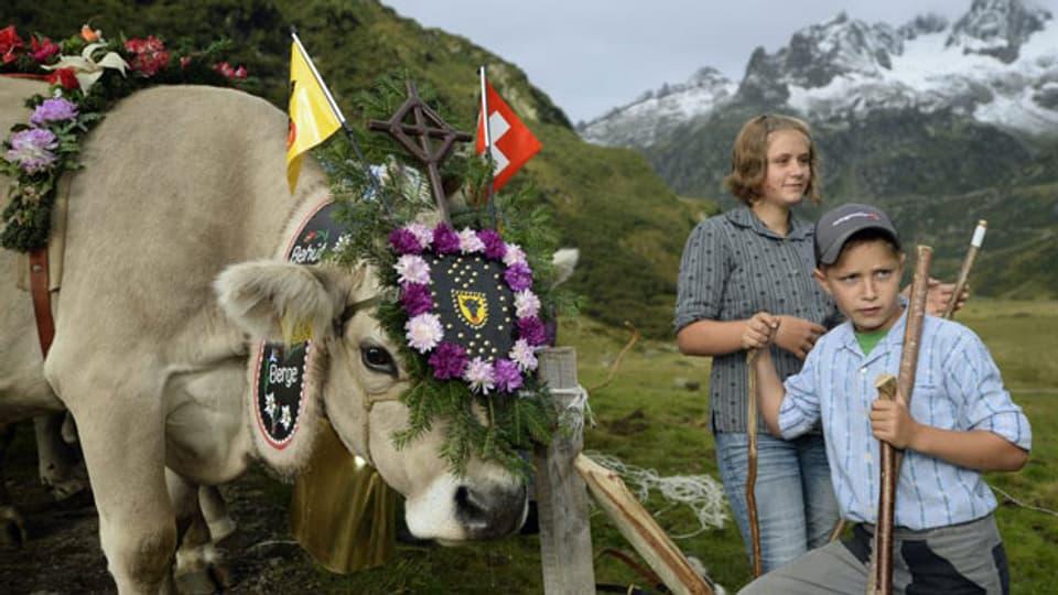 Die Alpkühe der Alp Hinterfeld im Meiental am Sustenpass im Kanton Uri werden am frühen Morgen des 14. September 2013 für den langen Alpabzug nach Wassen bereitgemacht. Symbolbild.