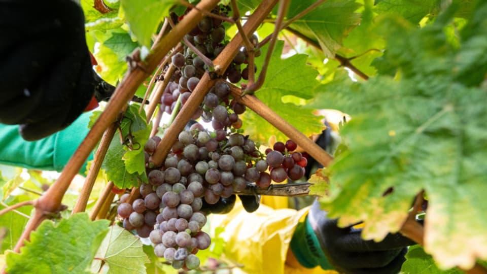 Die Traubenernte erfolgt später als sonst wegen des schlechten Wetters. Im Wallis werden die wenigen Trauben gar von Dieben gestohlen. In der restlichen Westschweiz und im Tessin ist Traubenklau kein Thema.