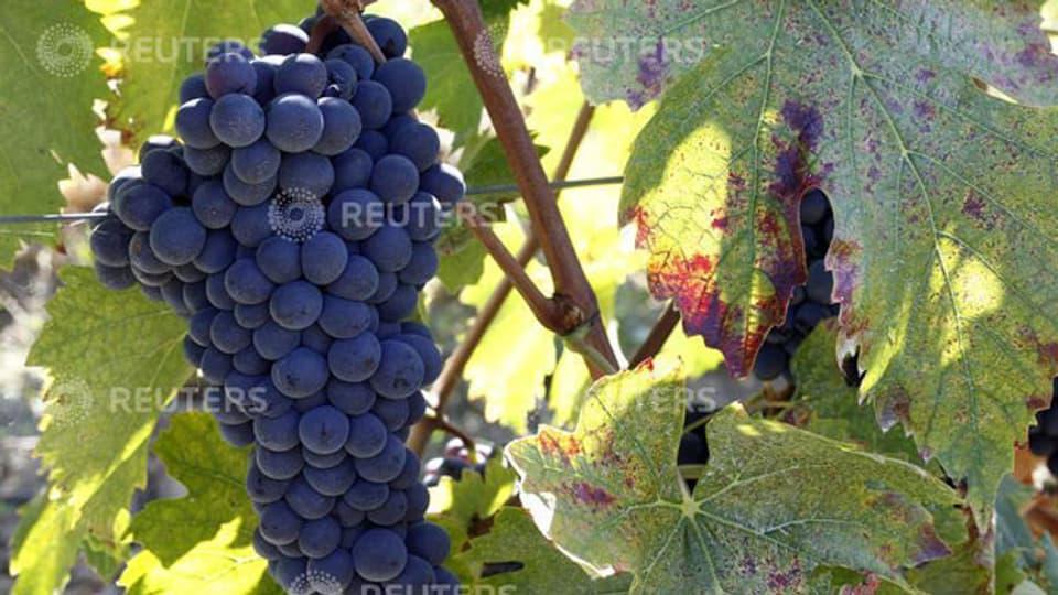 Weintraube eines Weingutes in der Toskana.