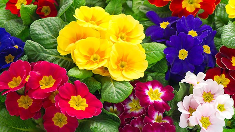 Primeln sind ein fröhlicher und farbenfroher Frühlingsflor.
