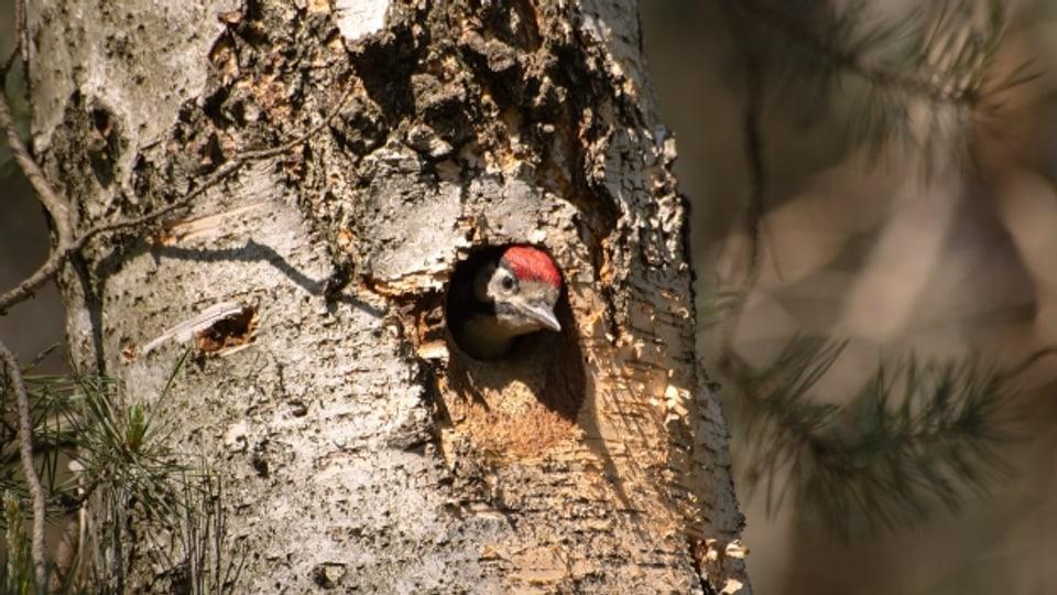 Der Buntspecht macht bereits an warmen Februartagen mit kurzen, kräftigen Trommelwirbeln auf sich aufmerksam.
