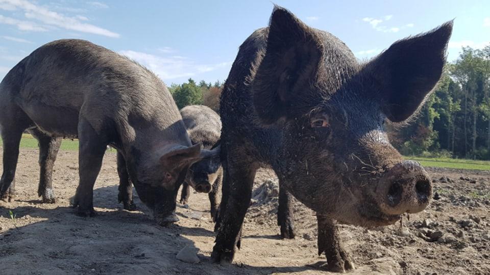 Auf dem Landwirtschaftsbetrieb der Strafanstalt Witzwil gibt es unter anderem sehr viele Schweine, vom kleinen Ferkel bis hin zur alten Sau.
