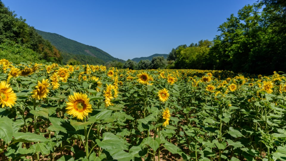 Sonnenblumen sind unsere Sommerboten.
