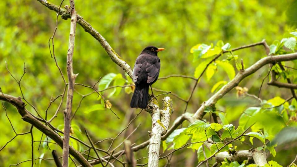 Am Morgen oder am Abend ist die beste Zeit, um Vögel zu beobachten.