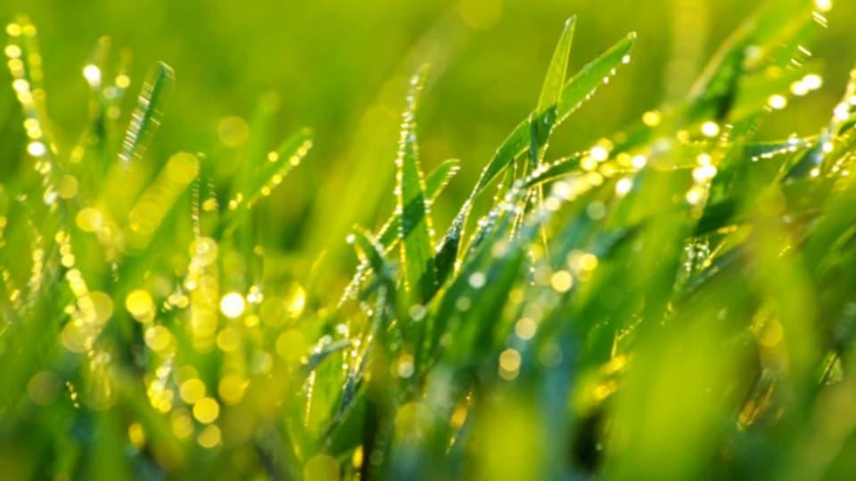 Biodünger macht den Rasen widerstandsfähiger.