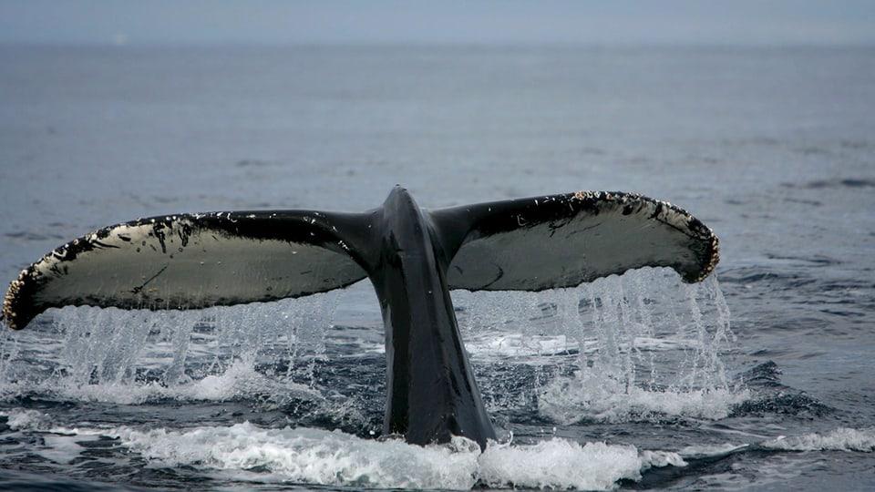 Die Schwanzflosse eines Buckelwals.
