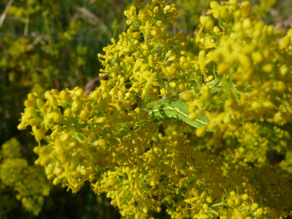 grüne Raupe in gelbem Kraut