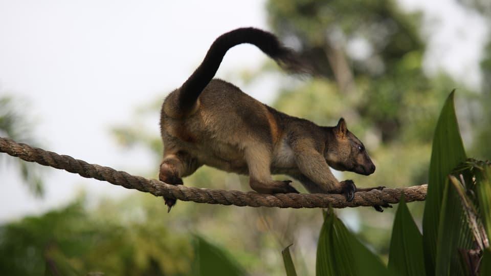 Seiltanzen mit einem Baumkänguru.
