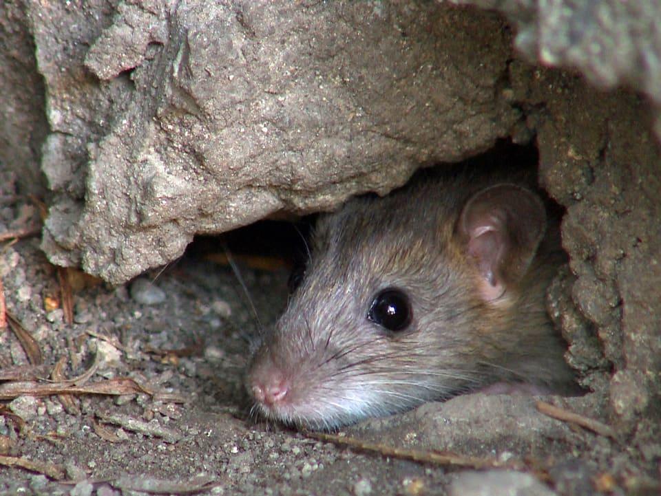 Ratten-Alarm: Wenn Futter zugänglich ist, können sich Wanderratten in der Stadt ganz schön vermehren (Ratte schaut aus einem Loch im Boden).