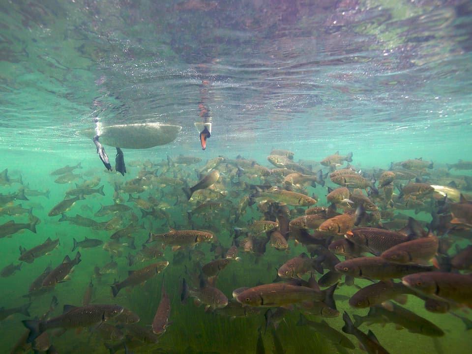 Ein Schwan schaut unter Wasser einen Fischschwarm an.