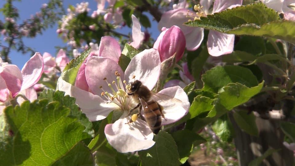 Honigbiene auf Apfelblüte