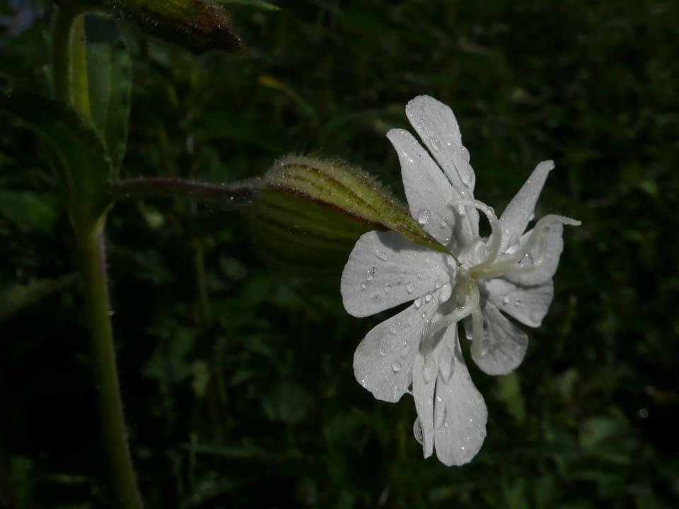 Auf der weissen offenen Blüte der Wald-Lichtnelke perlen ein paar Regentropfen.