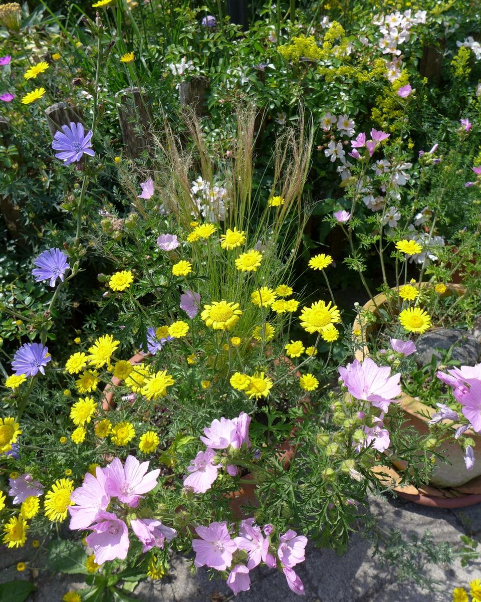 Zwei Töpfe voll mit bunten Blumen in gelb, rosa und lila