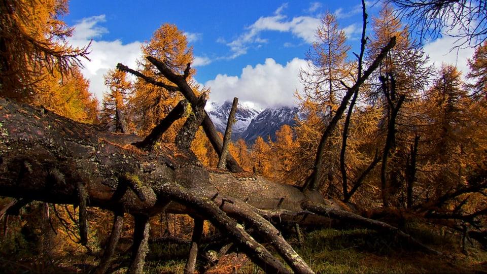 Wilde Schönheit: Natur pur ohne Eingriffe des Menschen soll im Schweizerischen Nationalpark für alle Zukunft erhalten bleiben. (Umgefallene Lärche mitten im gelben Herbstwald)