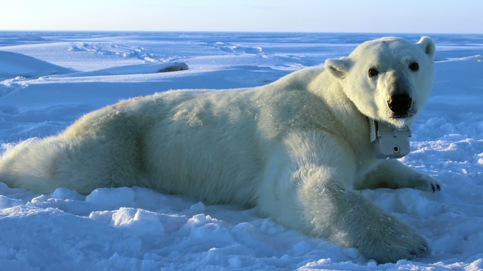 Tierische Filmemacher: So sieht der Alltag eines Eisbären aus