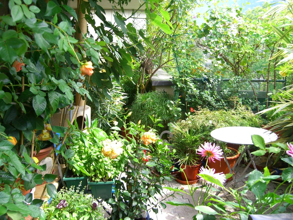 Dieser Balkon ist voll mit Pflanzen: Rosen, Dahlien, Feigenbaum, Basilikum, Gräser. Mitten im Grün steht ein kleiner runder Metalltisch.