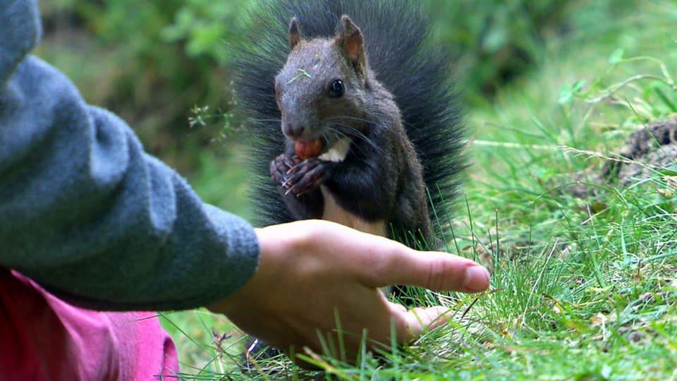 Handzahm: Auf dem Eichhörnchenweg in Arosa sind die Eichhörnchen so zahm, dass sie den Menschen aus der Hand fressen. (Eichhörnchen frisst Kind aus der Hand)