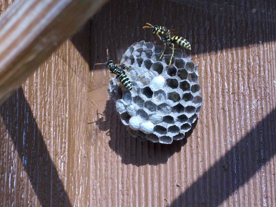 Feldwespen bauen ein Nest.
