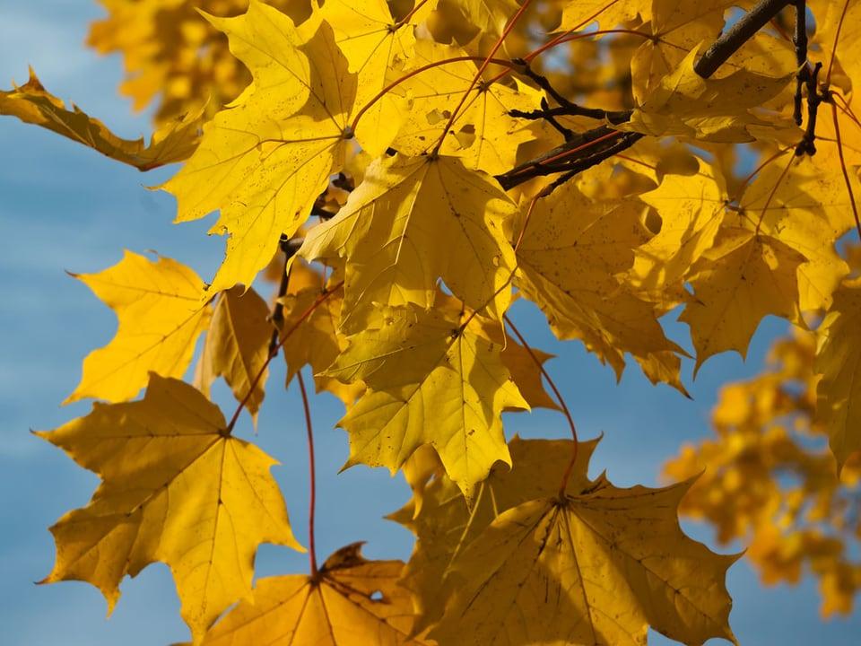 Gelbe Ahornblätter am Baum.