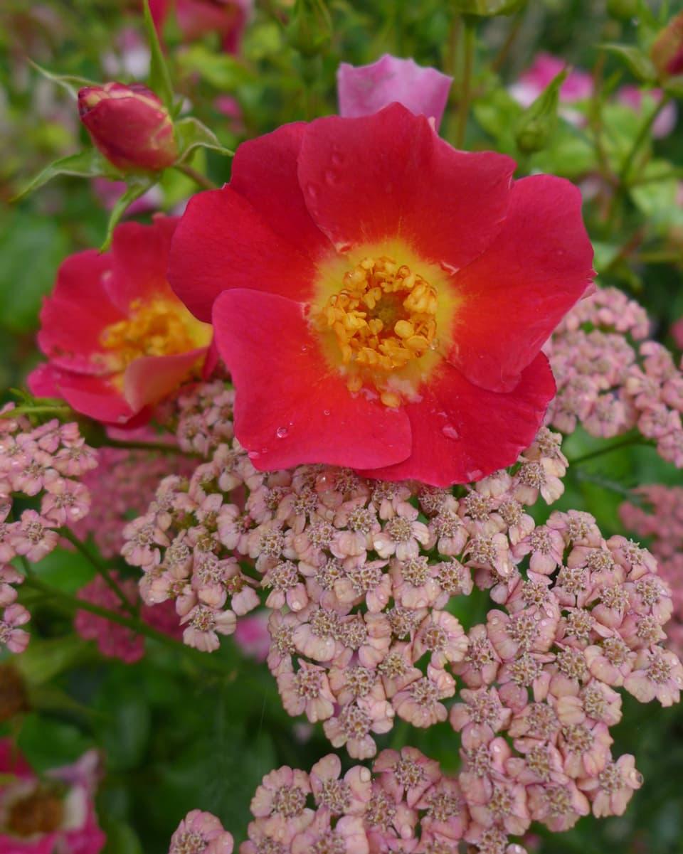 Rot-gelbe Blüte mit rotem Kraut.