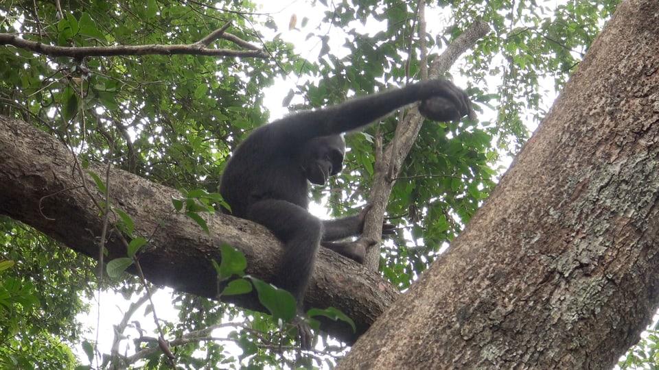 Eine Kulturtechnik? Schildkröten verspeisen nach Schimpansen-Art