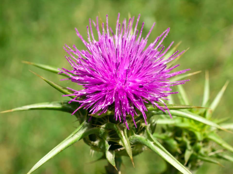 violette Distel in einer Wiese