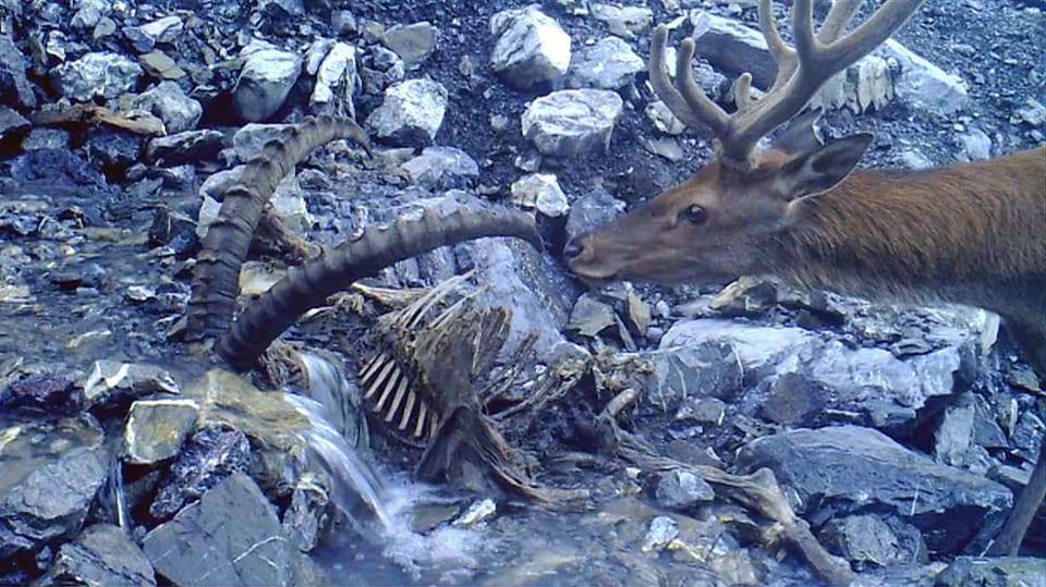 Rothirsch und toter Steinbock: Begegnung mit dem Tod (Rothirsch riecht an Hörnern eines toten Steinbocks)