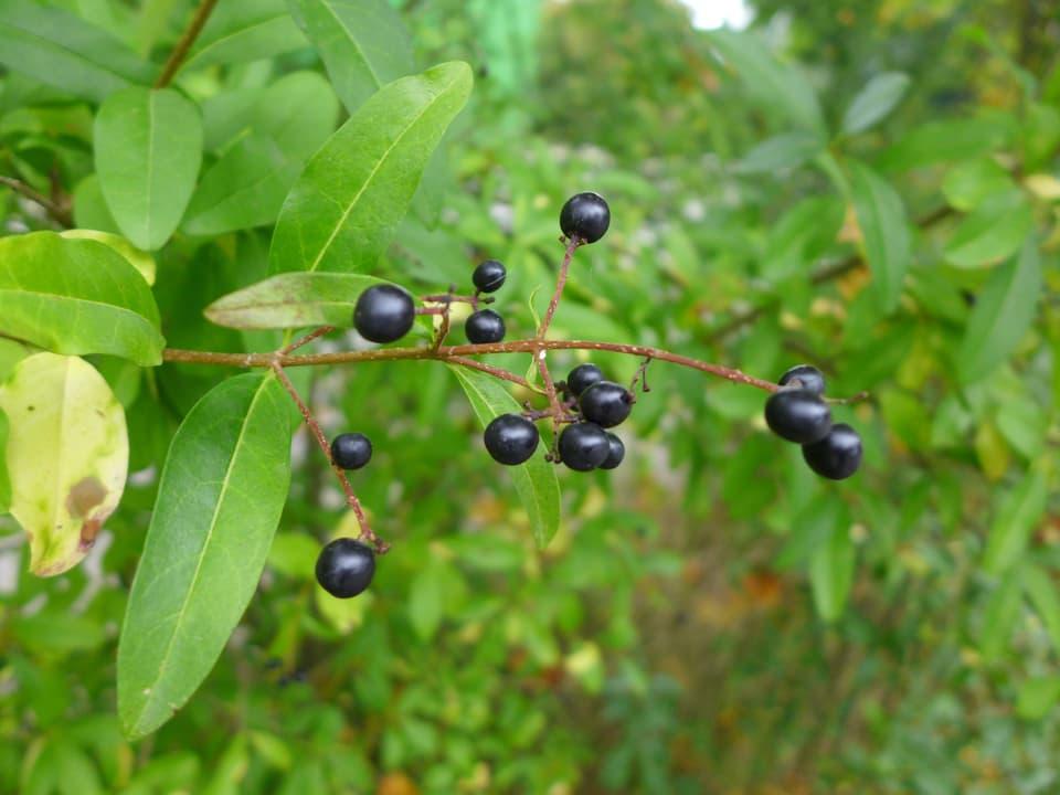 schwarze Beere an grünem Strauch