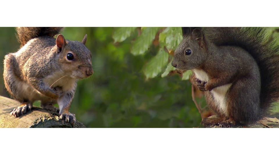 Auge in Auge: Amerikanisches Grauhörnchen links und Europäisches Eichhörnchen rechts.